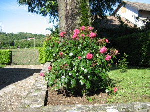 Le rose nella sede di Moruzzo